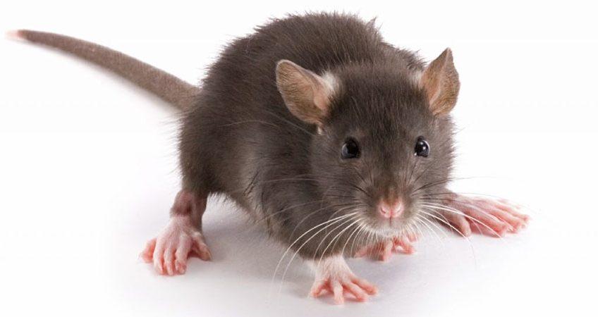 Những cách đuổi chuột hiệu quả không cần mèo hay thuốc diệt chuột