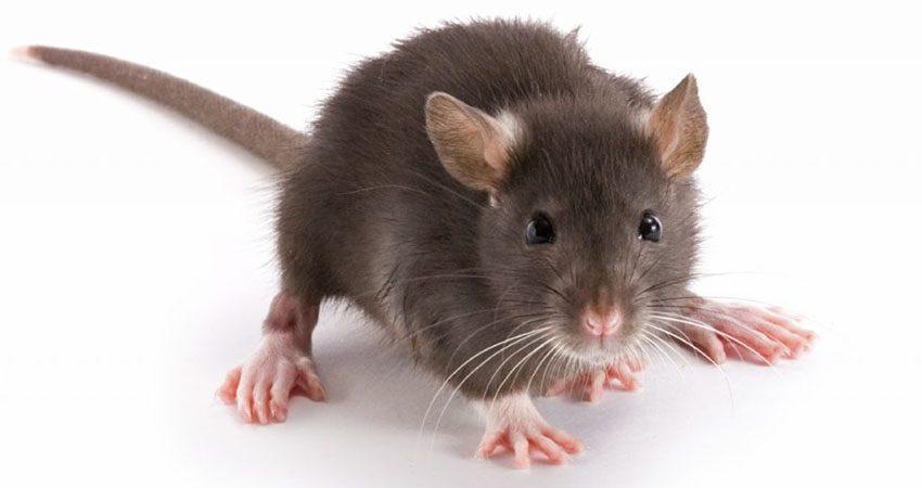 công ty dịch vụ diệt chuột hiệu quả cao sẽ giúp các doanh nghiệp tránh xa các nguy hại và tàn phá của loài chuột