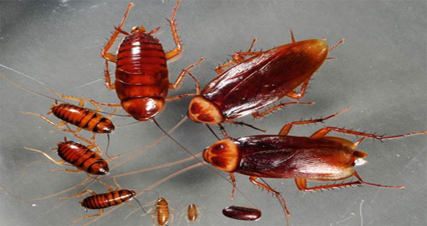 Gián là loài côn trùng có mặt khắp mọi nơi