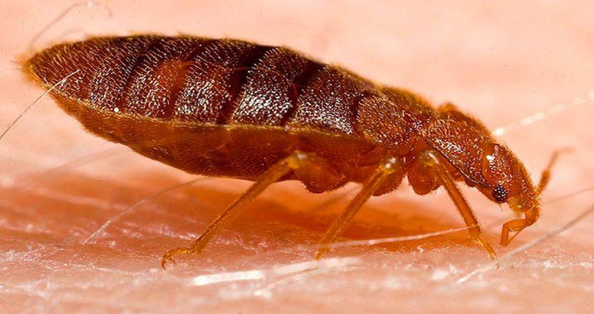 Hình ảnh rệp giường đang hút máu