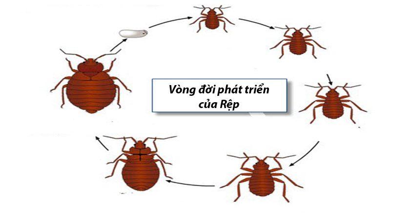 Vòng đời của côn trùng Rệp