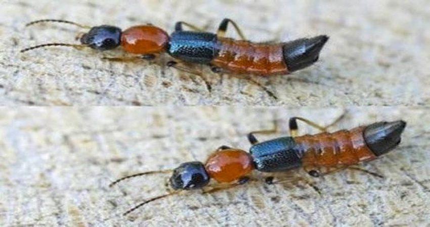 Cấu tạo của kiến ba khoang