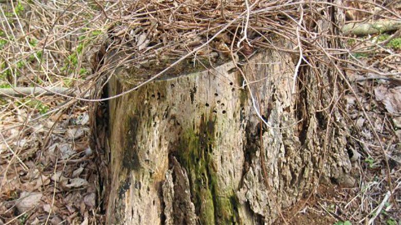 Mối thường sống trong các gốc cây hoặc khúc gỗ bên ngoài nhà