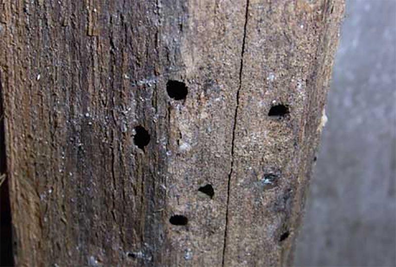 các lỗ nhỏ trên cây gỗ cũng đang là dấu hiệu của mối