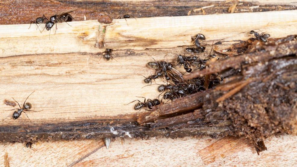 Kiến cũng có thể phá huỷ món đồ nội thất gỗ giống như mối