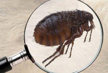 Dịch vụ diệt bọ chét – ve chó