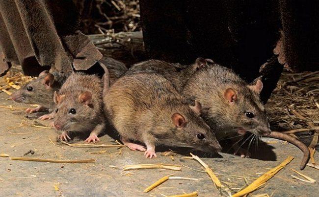 Cách phòng và diệt chuột hiệu quả ngay tại nhà