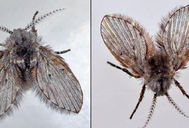 3 Cách diệt ruồi cánh bướm trong nhà vệ sinh hiệu quả tận gốc