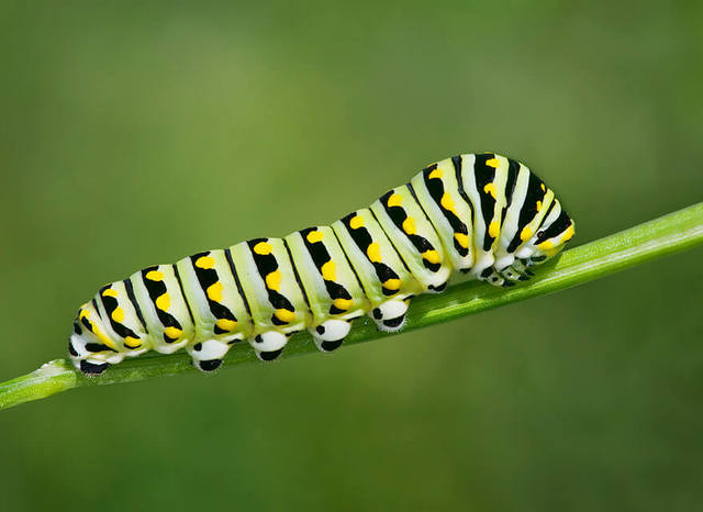 Sâu bướm