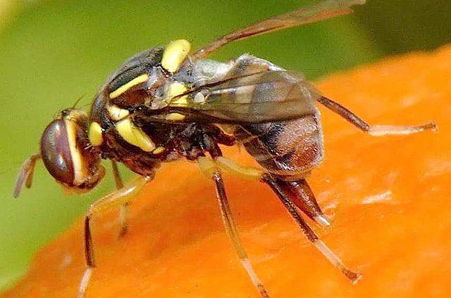 Đặc điểm hình thái của ruồi vàng