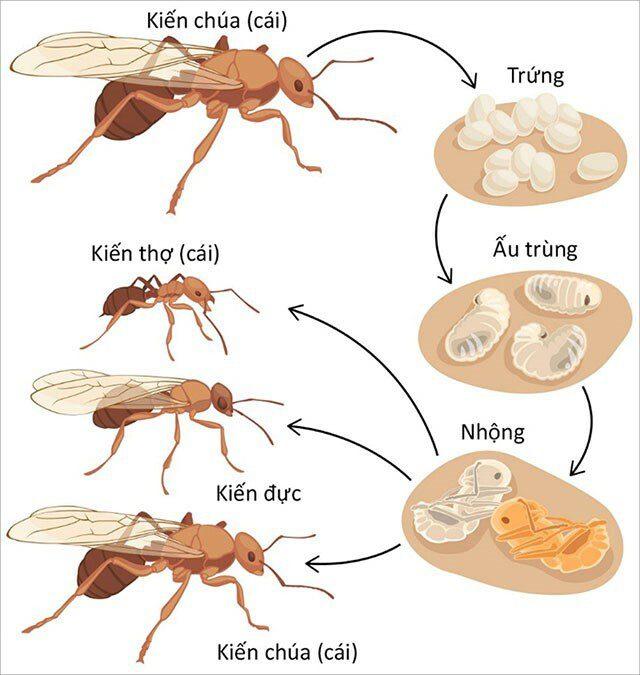 Vòng đời của kiến